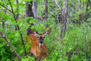 Deer at Belchers Marsh