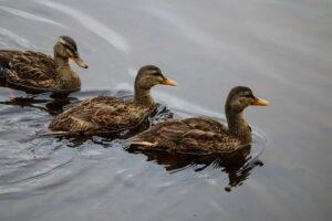 Ducks at Belchers Marsh